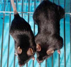 """""""Những con chuột phi thường"""" được làm cho phi thường hơn"""