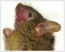 Chuột cung cấp nhiều đầu mối quan trọng cho chứng rối loạn ám ảnh bắt buộc