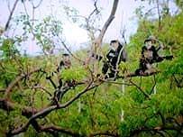 Khánh Hoà: Phát hiện 110 con voọc chà vá chân đen