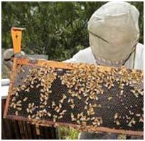 Mỹ: Nguyên nhân gây mất tích hàng loạt ong do virus