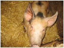 Đài Loan phát triển giống lợn biến đổi gien chuyên ăn cỏ