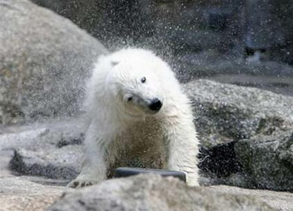 2/3 gấu Bắc Cực sẽ biến mất