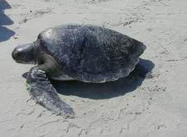 Rùa quí hiếm về đẻ trứng