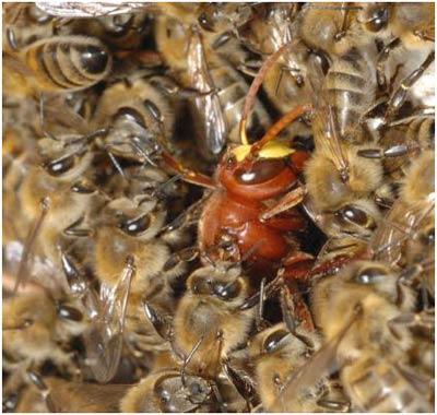 Ong làm ngạt kẻ thù đến chết
