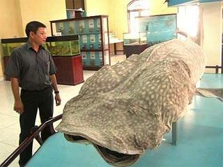 Ướp cá làm mẫu vật bảo tàng: Nghề chưa từng có