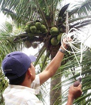 Thụ phấn trợ lực cho dừa sáp ở Trà Vinh