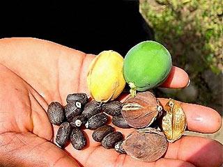 Trồng cây dầu mè để thu nhiên liệu sinh học