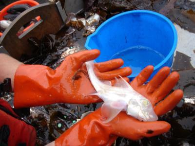 Bắt được cá bạch tạng cực hiếm
