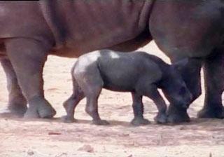 Tê giác trắng chào đời tại một công viên ở Israel