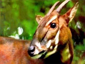 Thành lập 2 khu bảo tồn Sao la tại Trung Trường Sơn.