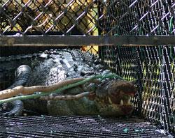 Cá sấu nhớ nhà