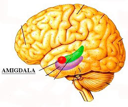 Hạch hạnh nhân: Nơi xử lý cảm xúc ở não bộ