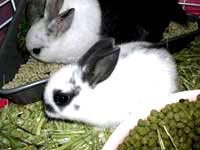 Lai tạo hai giống thỏ mới