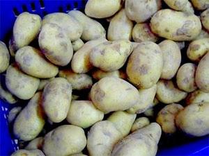 Khoai tây chuyển gien dùng làm giấy