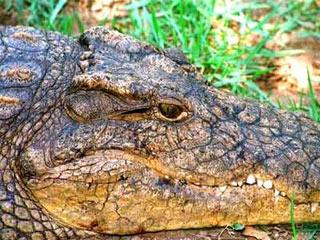 Nước mắt cá sấu giúp tiêu hóa thức ăn