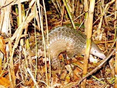 Thả động vật hoang dã được cứu hộ về U Minh Thượng