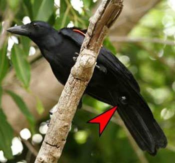 Loài chim cũng biết sử dụng công cụ lao động