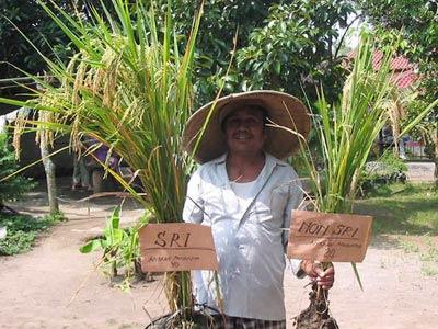 Trồng lúa khô giàu chất dinh dưỡng thay lúa nước
