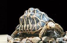 Rùa cạn tiến hoá để tránh bị lật ngửa