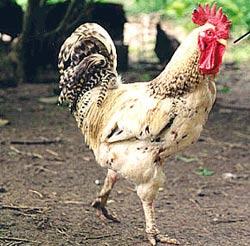 Chăn nuôi gà an toàn sinh học