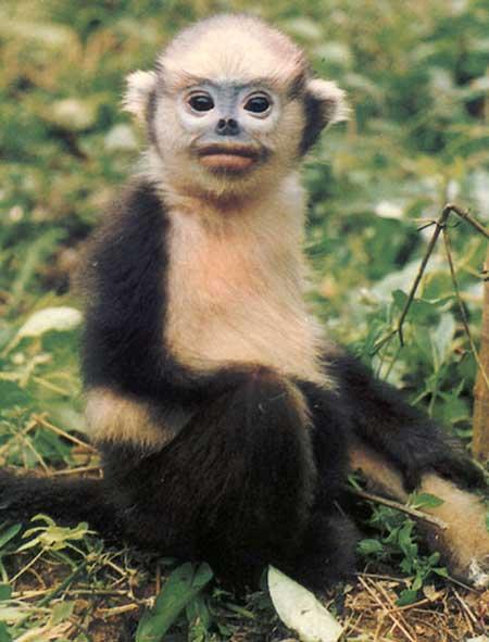 Công bố 25 loài linh trưởng nguy cấp nhất thế giới