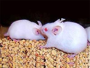 """""""Siêu chuột"""" chạy lẹ, sống lâu…"""