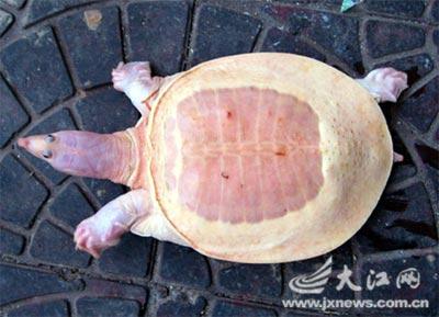 Tìm thấy một con rùa mai trắng đặc biệt