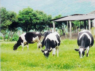 Công nghệ nuôi bò sữa: Cần đồng cỏ và nước sạch!