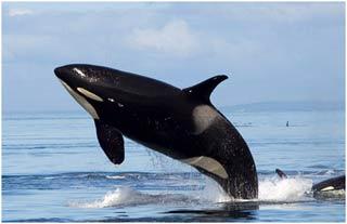 Giải mã tiếng cá voi