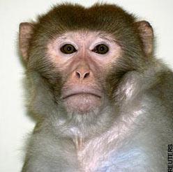 Đã nhân bản được phôi thai khỉ