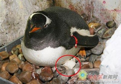 Chim cánh cụt nhịn ăn vì bị vỡ trứng