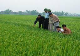 Năng suất của lúa lai Việt Nam cao hơn lúa thuần từ 15-20%
