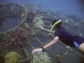 Hồi sinh san hô bằng... điện