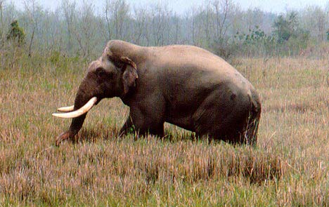 Chú voi châu Á lớn nhất thế giới có thể đã chết