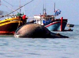 Cá voi nặng 10 tấn trôi dạt vào biển đảo Cồn Cỏ