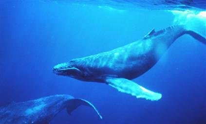 Video: Bài hát của cá voi