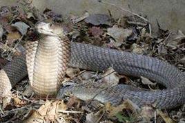 Phát hiện loài rắn độc khổng lồ ở Kenya