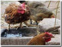 Chủng virus H7N3: Độc lực cao, lây sang người