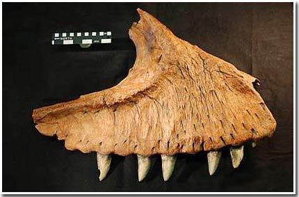 Răng khủng long to như... quả chuối