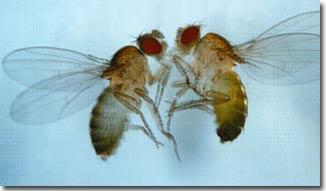Giao phối đồng giới ở ruồi giấm