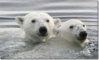 Gấu Bắc cực và hiện tượng trái đất nóng lên