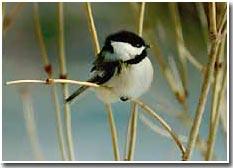 Khả năng chống chọi với giá lạnh của chim đầu đen
