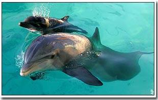 Bí quyết khiến cá heo lặn sâu mà không ngất