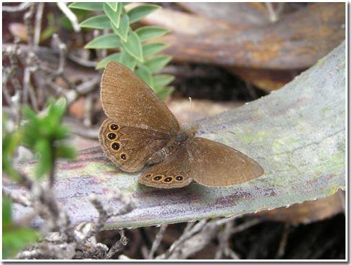 Khoa học có thêm một loài bướm mới