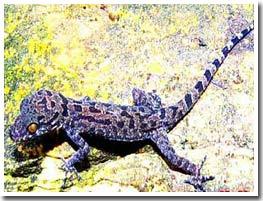 Khám phá một loài thằn lằn mới ở Việt Nam