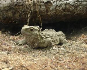 """""""Khủng long sống"""" tại New Zealand – loài Tuatara – có tốc độ tiến hóa nhanh nhất"""