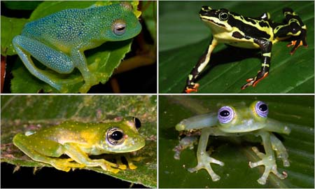 Mối liên hệ giữa sự ấm lên toàn cầu và sự biến mất của loài ếch là một thách thức