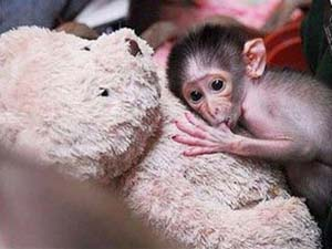 Khỉ con nhận gấu bông làm mẹ