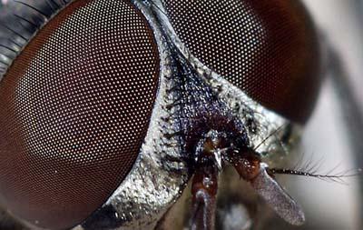 Mắt ruồi có thể giúp tăng cường thị lực robot