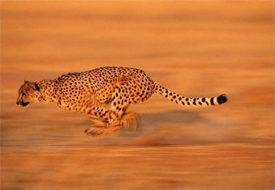 Báo hoa - loài vật nhanh nhất mặt đất